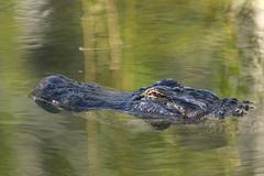 Alligator floating in pond Stock Photos