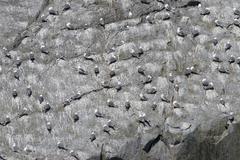 Alaskan gulls on rock Stock Photos