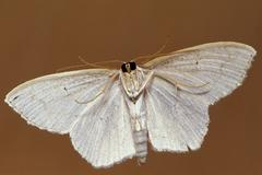 Underside of a white moth Stock Photos