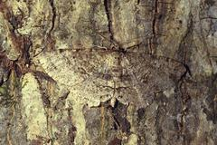 brown moth camouflaged on tree bark - stock photo