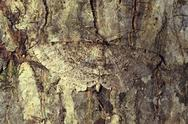 Stock Photo of brown moth camouflaged on tree bark