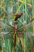 widow skimmer dragonfly and naiad case - stock photo