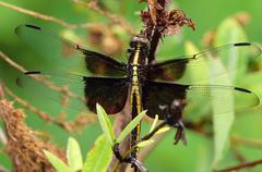 widow skimmer dragonfly portrait - stock photo