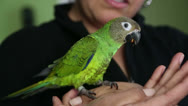 Stock Video Footage of Friendly Pet Parrot