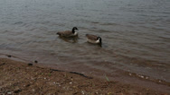 Stock Video Footage of pair of geese swimming