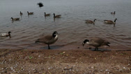 Stock Video Footage of geese