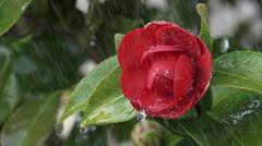 Heavy rain on camellia blossom Stock Footage