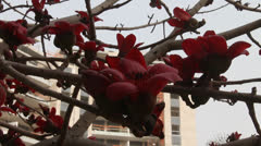 Blossoms of the Red Silk Cotton Tree Stock Footage