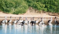 flock  of white pelicans - stock photo