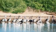 Stock Photo of flock  of white pelicans