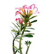 - mock azalea beautiful red flowers on white background Stock Photos