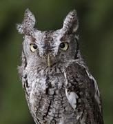 Screech Owl Stare - stock photo