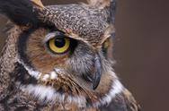 Stock Photo of great horned owl focus
