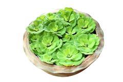 Green pistia stratiotes in pottery on white background. Stock Photos