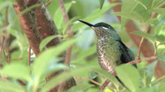 Green-crowned Brilliant poses in foliage to her best advantage 2 ECU - stock footage