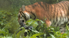 Young Siberian TIGER Enjoys his KILL 2 Shot SEQUENCE Stock Footage