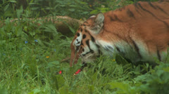 Siberian or AMUR TIGER Chewing his PREY in Grass Stock Footage