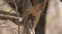 Infant male Savanna Baboon in tree in Niassa Reserve, Mozambique. Stock Footage