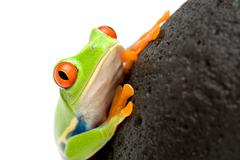 Frog on a rock Stock Photos