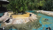 Stock Video Footage of Penguins swim and play in Singapore Bird Park