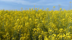 Yellow Flower Field Stock Footage