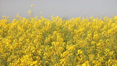 Yellow oil seed rape flowers dancing - stock footage