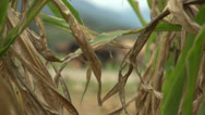 Stock Video Footage of Rack focus maize to diary cows. GVR-101