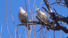 Pigeons on a Branch of a Tree, Doves, Ringdoves , Birds Stock Footage