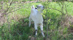 Baby goat Stock Footage
