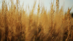 Gold Field HD Stock Footage