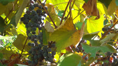 Ripe Grapes Ready for Picking in Autumn Season, Eco Fruits, Viticulture Stock Footage