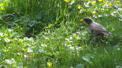 Starling in Spring Flowers on Meadow, Field, Lawn, Closeup, Black Bird in Grass Stock Footage