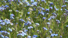 Bee Pollinating a Forget me not Flower, Bees Gathering Pollen, Macro Stock Footage