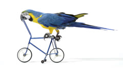Blue and yellow macaw riding a bike Stock Footage