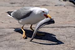 Seagull with fish - stock photo