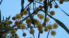 Acacia yellow blossoms in spring (Golden Wattle) Stock Footage