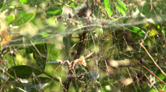 Spiderweb on the bush Stock Footage