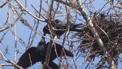 Couple, Pair of Loving Tenderly Crows, Nestling, Family of Ravens Nursing Eggs Stock Footage