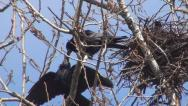 Stock Video Footage of Couple, Pair of Loving Tenderly Crows, Nestling, Family of Ravens Nursing Eggs