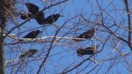 Crows Sitting on a Bare Branch then Flying Away, Ravens on a Windy Day, Birds Stock Footage