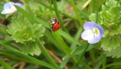 Ladybug on Field Flowers on Meadow, Walking Ladybird on Lawn, Bug, Macro Stock Footage
