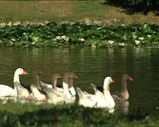 PARK ducks in a pond Stock Footage