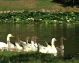 Stock Video Footage of PARK ducks in a pond