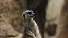Meerkat JIB Stock Footage