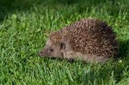 Stock Photo of young hedgehog