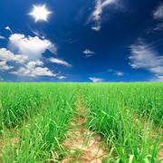 Sugar cane farm plentifully with bright shy & sun Stock Photos
