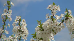 Blooming Trees Orchard, Spring Fruits Flowers, Springtime Foliage, Backgrounds Stock Footage