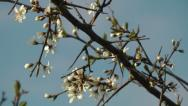 Stock Video Footage of Plum tree blossom against clear blue sky in spring