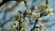 Stock Video Footage of Flowering Tree Blossom