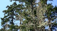 Stock Video Footage of Deer antler tree moss and fir trees